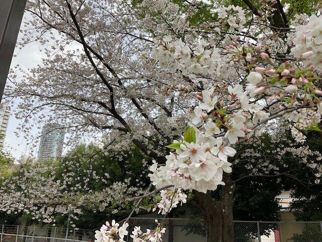 青山公園の桜