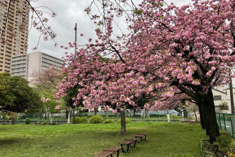 青山公園 八重桜