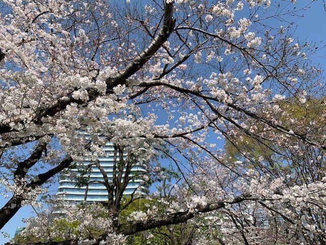 青山公園 桜